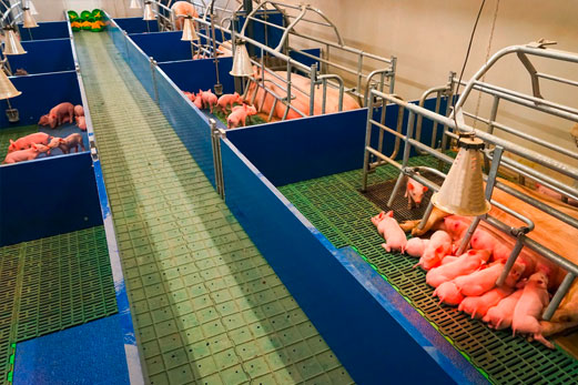 Bestandsbetreuung Schwein